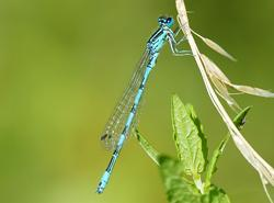 Helm-Azurjungfer Coenagrion mercuriale (Charpentier, 1840)