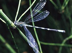 Speer-Azurjungfer Coenagrion hastulatum (Charpentier, 1825)